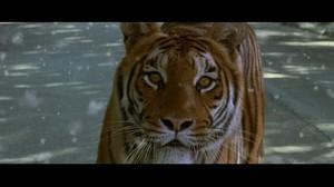 O tigre e a neve - Olhos do tigre